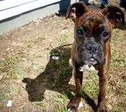 Boxer puppy. Photograph of a boxer puppy with reverse brindle coloring Royalty Free Stock Photo