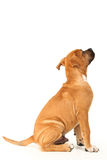 Boxer Puppy Royalty Free Stock Images