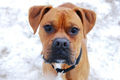 Boxer Puppy. This beautiful boxer puppy looks at the camera with a curious expression Stock Photo