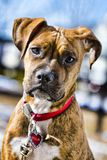 Boxer Puppy. A boxer puppy stands outside in front of a bright blue sky Stock Photography