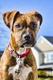 Boxer Puppy. A boxer puppy stands outside in front of a bright blue sky stock photos