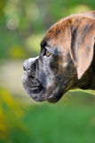 Boxer puppy Royalty Free Stock Image