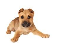 Boxer Puppy Stock Image
