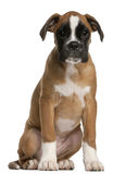 Boxer puppy, 3 months old, sitting Stock Image