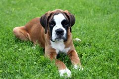 The boxer of the puppy. On a green lawn Stock Photo