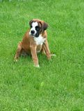 The boxer of the puppy. On a green lawn Royalty Free Stock Photography