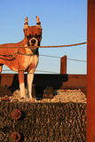Boxer Puppy. With cropped ears outside in a park Royalty Free Stock Photography