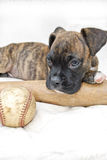 Boxer Puppy with Baseball and Bat Stock Image