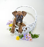 Boxer Puppy in Basket with Spring Flowers. Stock Photo