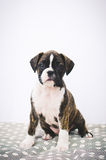 Boxer puppy on the bed Royalty Free Stock Photo