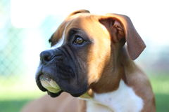 Boxer Puppy Stock Image