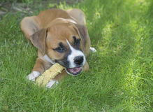 Boxer puppy chewing on a corn cob. Royalty Free Stock Photos