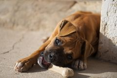 Boxer puppy chewing a dog food bone Royalty Free Stock Images