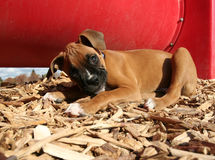 A boxer puppy at a dog park Royalty Free Stock Photos
