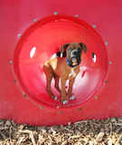 A boxer puppy at a dog park Stock Photo