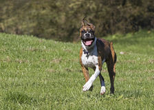 Boxer puppy dog running through a grassy field. Stock Photos