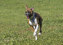 Boxer puppy dog running through a grassy field. Stock Image