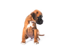 Boxer puppy dog royalty free stock images