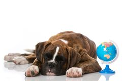 Dog is dreaming of a world trip. Boxer puppy is dreaming of a world trip isolated on white background Royalty Free Stock Image