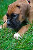 Boxer Puppy On grass. Boxer Puppy laying on grass playing shy Royalty Free Stock Image