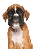 Boxer puppy isolated on white Royalty Free Stock Photography