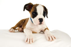 Boxer puppy laid on a bean bag isolated on a white background Stock Photos