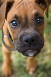 Boxer puppy. a large portrait of the muzzle Stock Photo