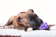 Boxer puppy laying on carpet and gnawing a toy Royalty Free Stock Image