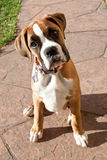 Boxer puppy looking up. Curious royalty free stock photo