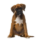 Boxer puppy (3 months old) Stock Image