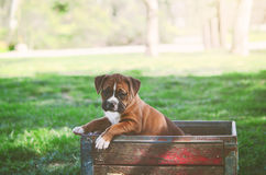 Boxer Puppy at the Park. A female boxer puppy sits in an antique wood crate at the park royalty free stock image