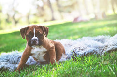 Boxer Puppy at the Park. A female boxer puppy sits on a fur blanket at the park stock photos
