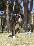 Boxer puppy at the park Royalty Free Stock Photos