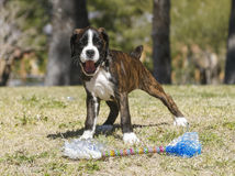 Boxer puppy playing with a toy Royalty Free Stock Photo