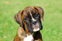 Boxer puppy portrait Royalty Free Stock Image
