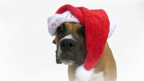 Let it snow. Boxer puppy portrait with red Santa hat in the snow at Christmas stock photos