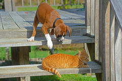 Boxer puppy ready to pounce on a cat. Royalty Free Stock Images