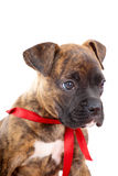 Boxer puppy with red ribbon Royalty Free Stock Image