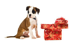 Boxer puppy sat next to Christmas presents isolated on a white background. Cute boxer puppy sitting next to a pile of red Christmas presents isolated on a white Stock Photography