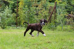 Boxer puppy Stock Photography