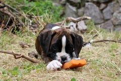 Boxer puppy Royalty Free Stock Photo