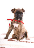 Boxer puppy sitting on carpet Stock Image
