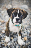 Boxer puppy sitting on rocks Stock Image