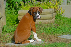 Boxer puppy sitting, watching all things. Stock Photography