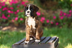Boxer Puppy Sitting on Wooden Crate Stock Image