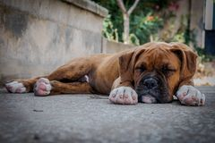 Boxer puppy sleeping in the floor stock photo
