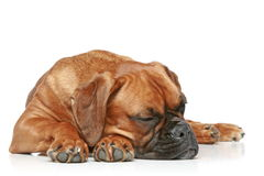 Boxer puppy sleeping on a white background Stock Photo