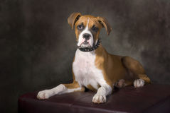 Boxer Puppy with Spiked Collar. Portrait of a boxer puppy with a spiked collar Royalty Free Stock Photos