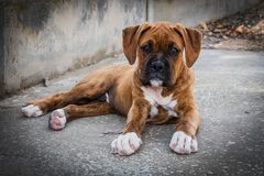 Boxer puppy staring at the camera stock photo