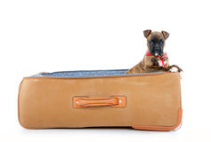 Boxer puppy in suitcase Stock Photos